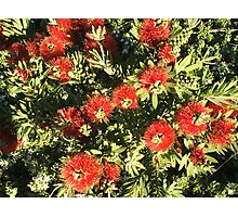 Bottle Brush Little John flowers Photographic Print