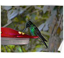 Hummingbird in Mindo Ecuador Poster