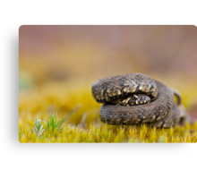 Natrix maura Canvas Print