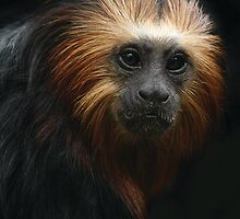 Portrait of a Golden-headed Lion Tamarin by CharlotteMorse