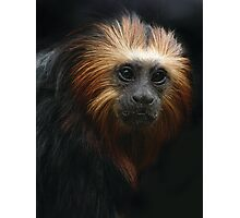 Portrait of a Golden-headed Lion Tamarin Photographic Print