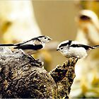 Pair of Long Tailed Tits by philipjon