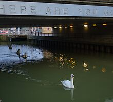 Clever Swans by JohnYoung