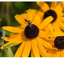 Hover Fly Photographic Print