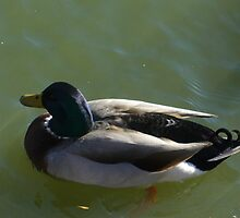 Duck by natat