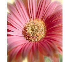 Pink Daisy  by Elizabeth Coats