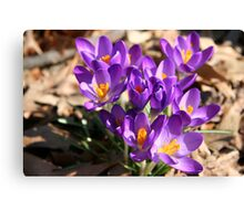 Signs of Spring - Crocus Canvas Print