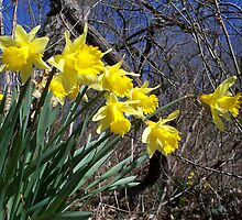 Signs of Spring - Daffodils by WalnutHill