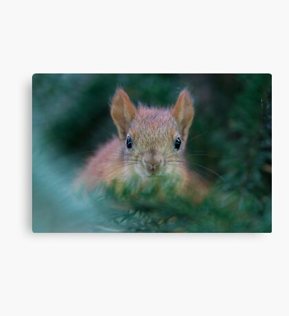 Baby Squirrel in the Fur Tree Canvas Print