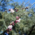 Signs of Spring - Ornamental Cherry by WalnutHill