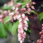 Signs of Spring - Pieris Japonica by WalnutHill