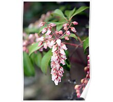 Signs of Spring - Pieris Japonica Poster