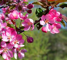 Spring Beauties by Curtiss Simpson