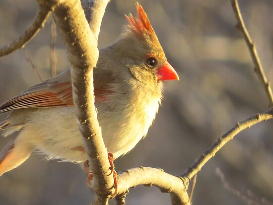 Evening Cardinal by lorilee