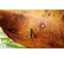 Long-legged Fly Photographic Print
