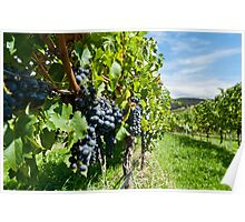 Grapes in the summer sun Poster