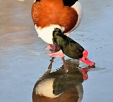 Common Shelduck ......walking on water by Jacqueline van Zetten