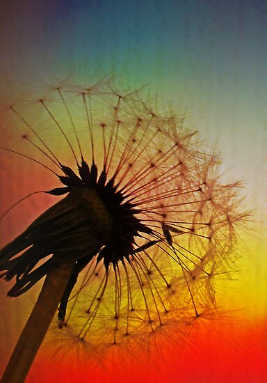 Dandelion Spectrum by George Crawford