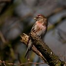 redpoll by Grandalf