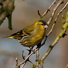 siskin by Grandalf