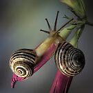 Snails in love by jimmy hoffman