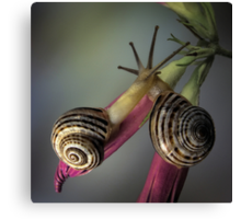 Snails in love Canvas Print