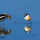 American Avocets by Floyd Hopper