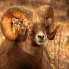 Big Ram, Big Curl by JamesA1