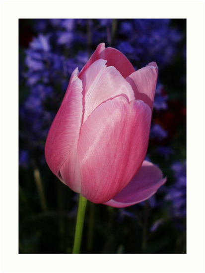 Pink Tulip by AnnDixon