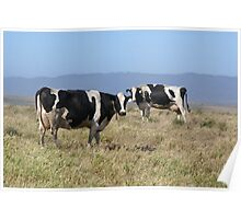 Holsteins Cows Poster