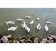 Swans on Lake Balaton, Hungary Photographic Print