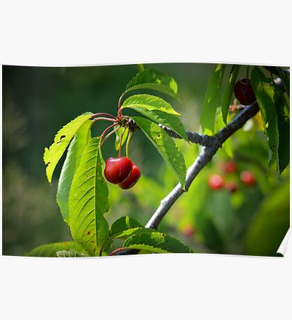 Michigan Cherries Poster