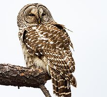 Barred Owl: The Inteloper by John Williams