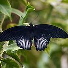The Mormon Butterfly by gharris