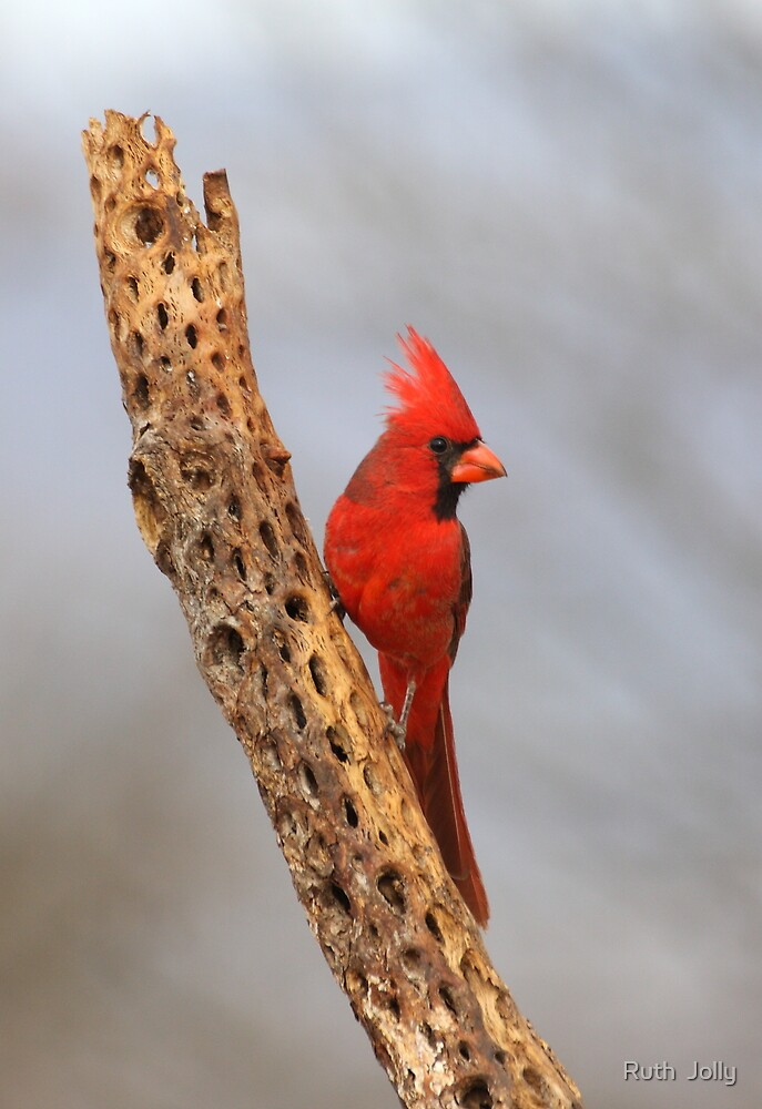 Cardinal on a branch by ruth  jolly