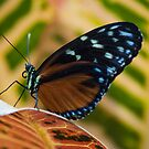 Butterfly Wings by gharris