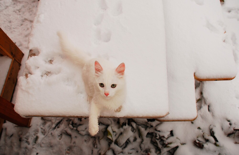 White Kitten on Snowy Table by jojobob
