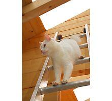 White Tom Descending Ladder Photographic Print