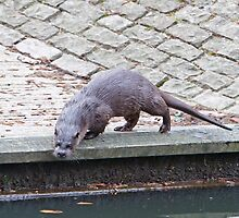 An Otter In Thetford  by Keith Larby