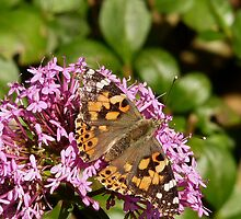 Painted Lady by BlueEyePictures