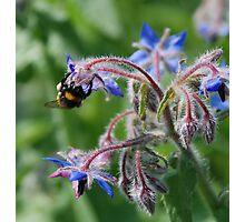 Bees and Borage Photographic Print