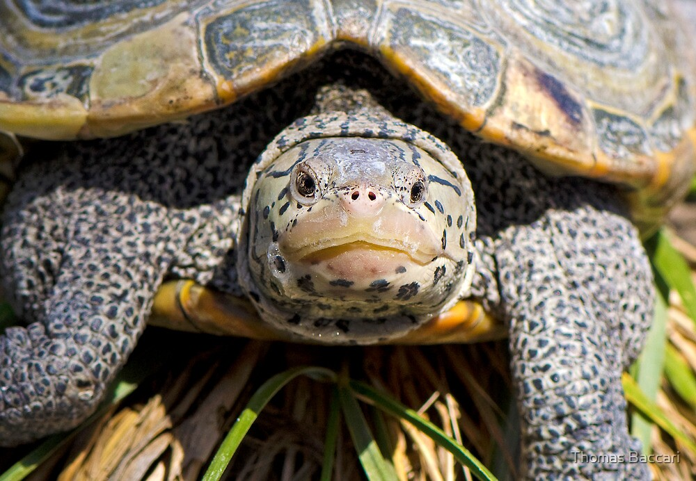 Turtle Up Close Looking at Me by TJ Baccari Photography