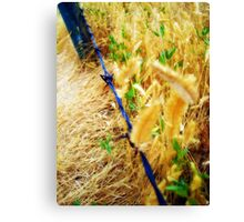 Canadian Gold Canvas Print