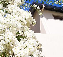 Bougainvillea -  23 11 12 - Three Wide Shot by Robert Phillips