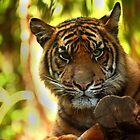 Tiger Stare by Daniela Pintimalli