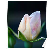 Precious Rose Bud Poster