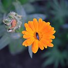 Yellow Flower and a Fly by PhotoPrints