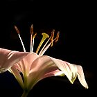 Light on the Lily by Kathy Weaver
