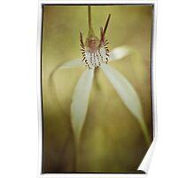 White Spider Orchid (Caladenia longicauda). Poster