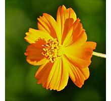 Orange Cosmos Photographic Print